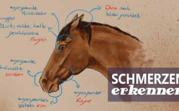 Schmerzgesicht des Pferdes