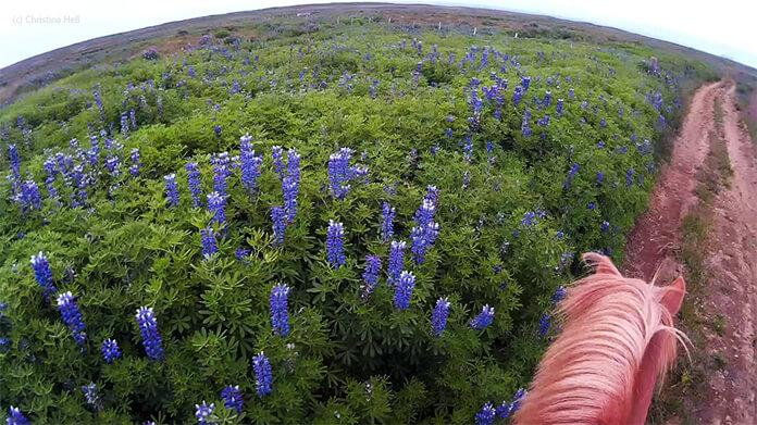 Ein Bild von Christinas Helmkamera: man sieht die Ohren und den Hals von Glói. Um ihn herum ist ein weites, grünes Feld mit blauen Lupinien.