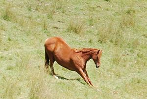 Ein Pferd streckt sich auf der Koppel.