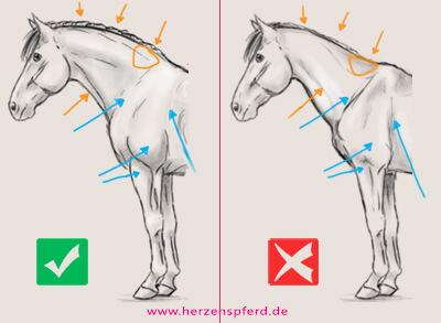 Zwei Zeichnungen vom Hals- und Schulterbereich des Pferdes, einmal mit guter und einmal mit schlechter Muskulatur. Die im Text beschriebenen Merkmale werden visualisiert.