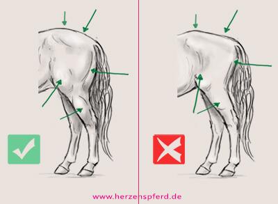Zwei Zeichnungen von der Hinterhand des Pferdes, einmal mit guter und einmal mit schlechter Muskulatur. Die im Text beschriebenen Merkmale werden visualisiert.