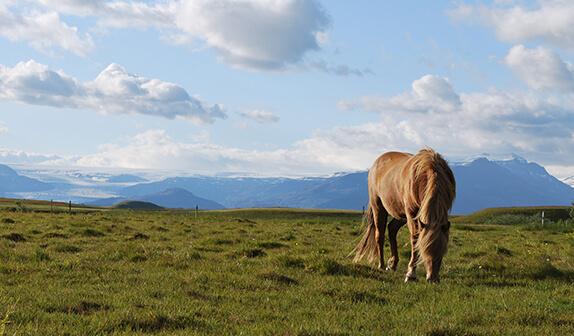 Pferd auf einer Koppel in Island