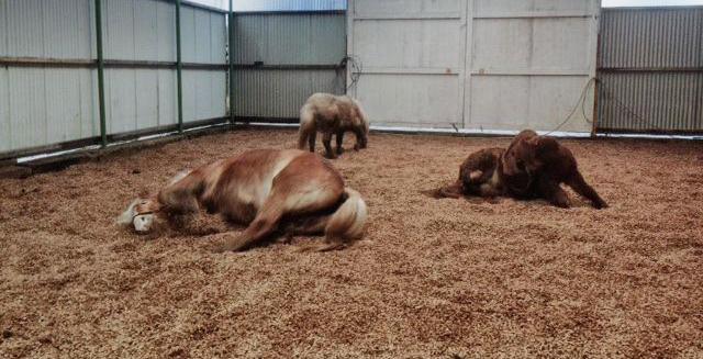 Drei Pferde wälzen sich in einer Halle mit Miscanthus Einstreu