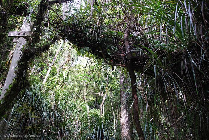 Grün bewachsene Bäume und Lianen auf dem Haruru Falls Track in Neuseeland