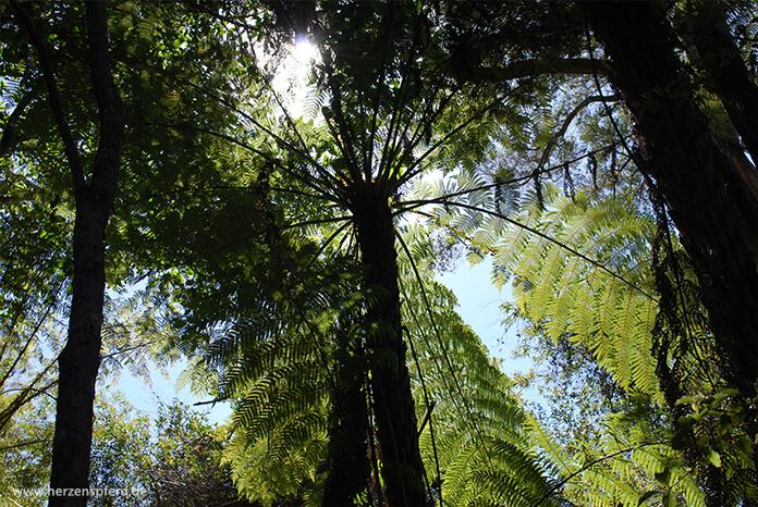 Ein dichtes Dach aus hohem, grünen Farn auf dem Haruru Falls Track in Neuseeland