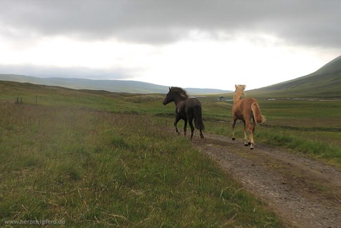Zwei junge Islandpferde auf der Sommerkoppel