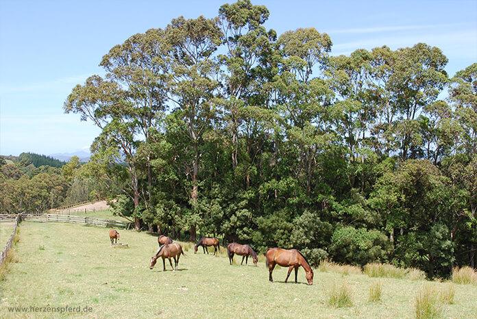 Pferde auf einer weitläufigen, hügeligen Koppel in Neuseeland