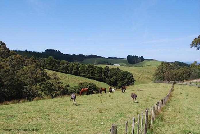 Pferde und Strauße auf einer weitläufigen, hügeligen Koppel in Neuseeland