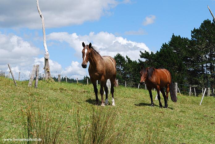Zwei neugierig blickende Pferde auf einer Koppel in Neuseeland