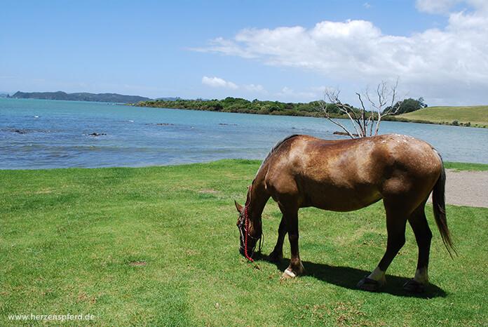 Pferd grast auf Wiese am Meer in Neuseeland
