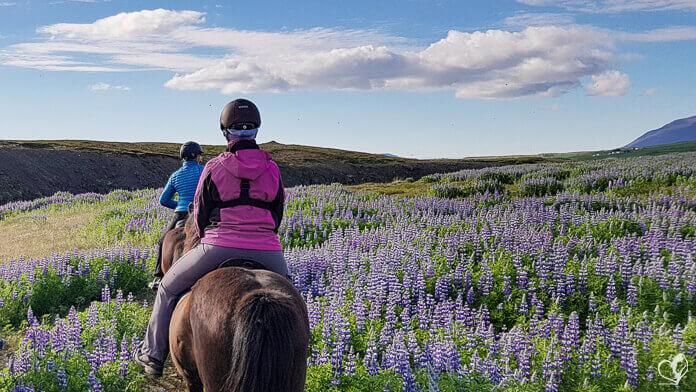 Zwei Reiterinnen auf Islandpferden reiten durch ein Meer aus violetten Lupinien.