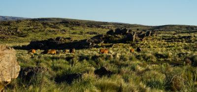 Eine Herde Pferde im Grasland. Das Gras ist so hoch, dass man nur ihre Rücken und Köpfe sehen kann.