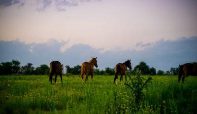Vier Pferde laufen auf ihrer weitläufigen Koppel in den Sonnenuntergang.