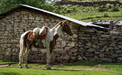 Ein geschecktes Criollo Pferd vor einem grob gemauerten Bauernhaus.
