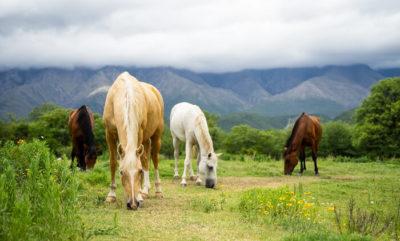 Eine Herde Paso Peruanos frisst Gras auf einer Koppel, die so groß ist, dass man keine Umzäunung sieht.