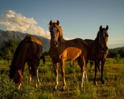 Drei Paso Peruano Pferde auf der Koppel, zwei schauen neugierig in die Kamera
