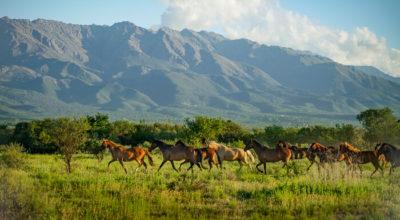 Eine Herde Pferde trabt über eine weite Ebene, im Hintergrund sieht man die Berge.